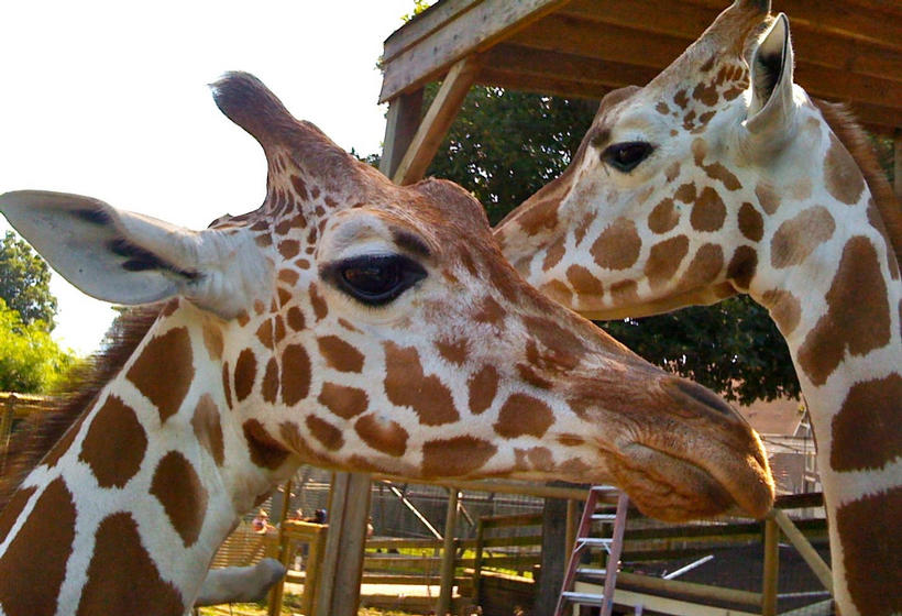 Two giraffes in a zoo exhibit.